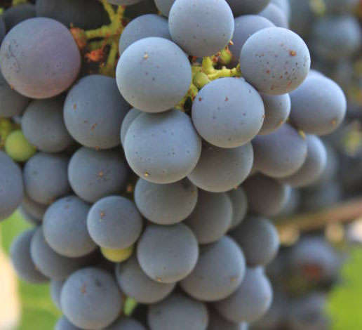 Cluster of Cabernet Sauvignon grapes on the vine at Schramsberg Vineyards
