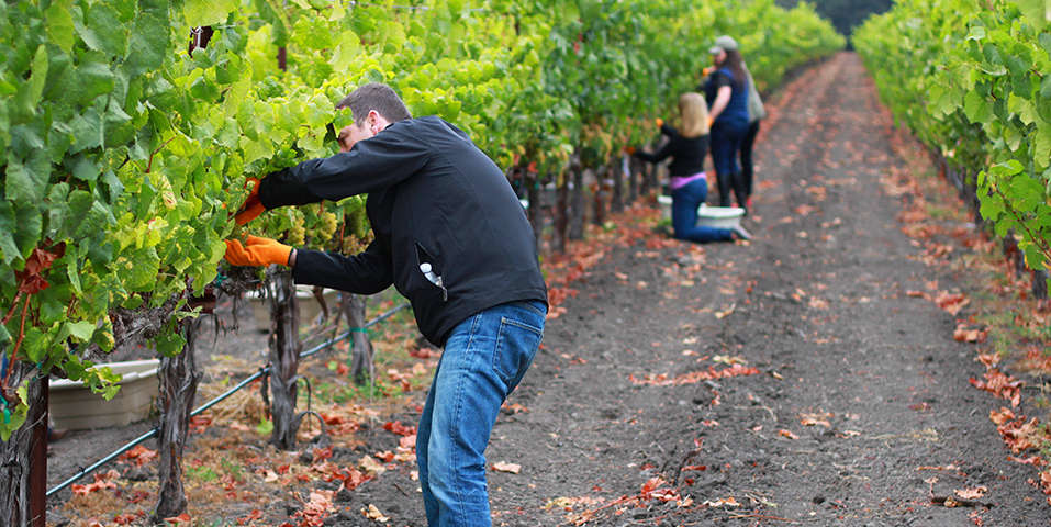 Campers harvesting grapes
