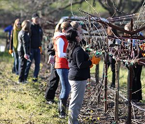 Campers Pruning Vines